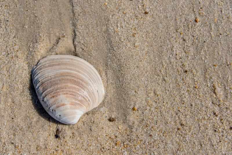 Weathered seashell washed up on a sandy beach stock image