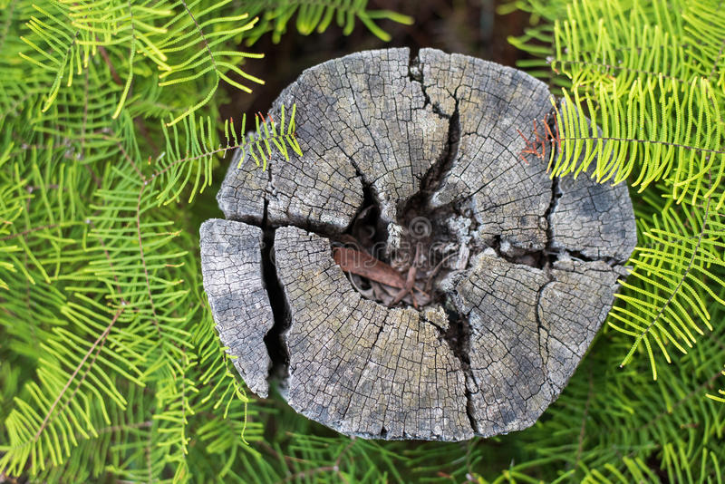 Weathered tree stump surrounded by ferns stock photos