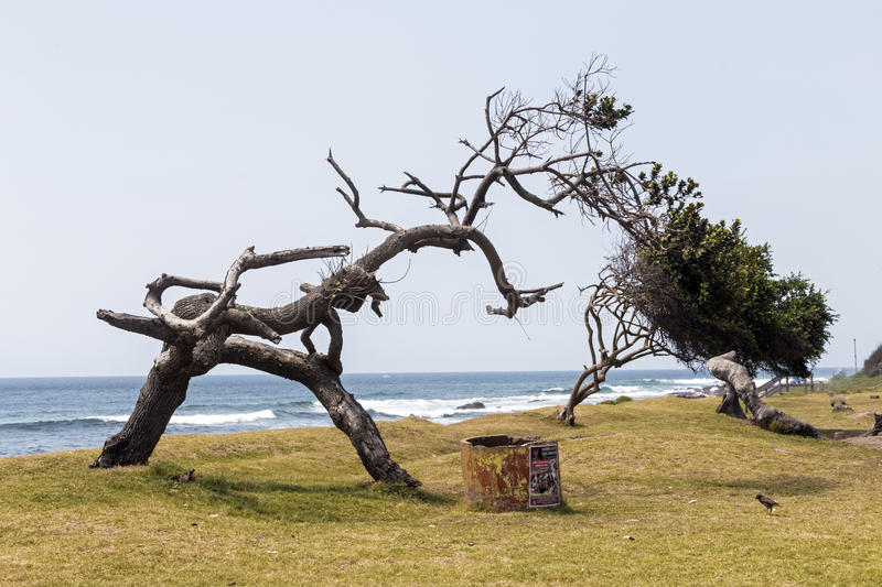 Weathered Trees on Grass Verge Against Blue Ocean Skyline. Old weathered trees on grass verge against blue ocean skyline in South Africa stock photos