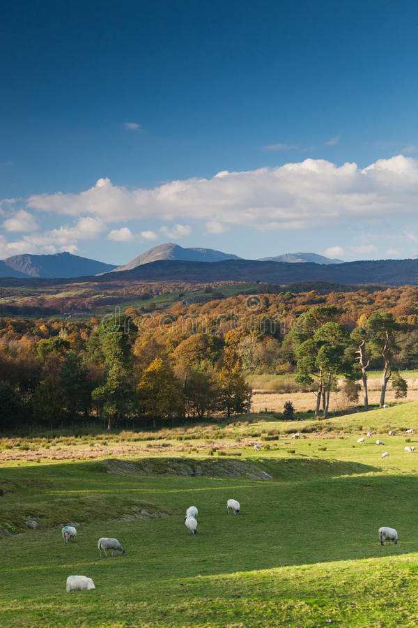 Weatherlam and The Old Man of Coniston in Autumn. (Fall) viewed across Grizedale Forest royalty free stock photo