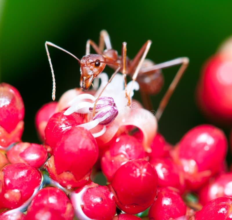 Download Weaver Ant stock image. Image of macro, flower, feeding - 21773143