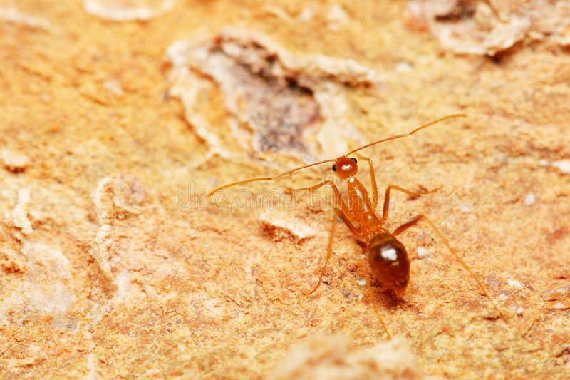Weaver Ant. Close up of a weaver ant (oecophylla smaragdina) on brick royalty free stock photo