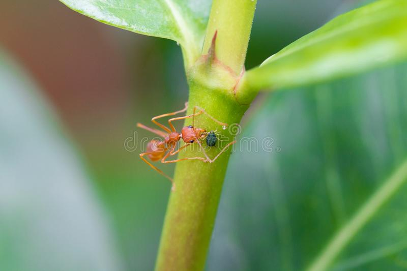 Weaver ant with an aphid. A weaver ant interacts with an aphid on a plant in northern Thailand. Aphids are small sap-sucking insects and members of the stock photos