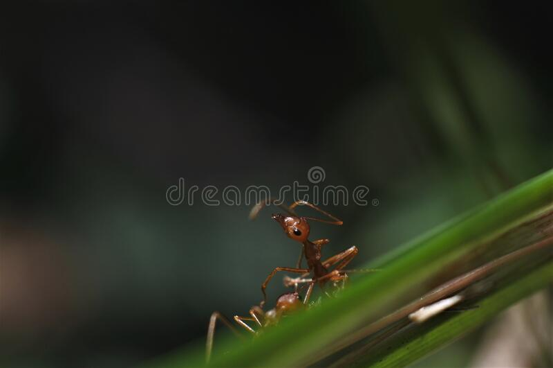 Weaver ant Oecophylla smaragdina royalty free stock images