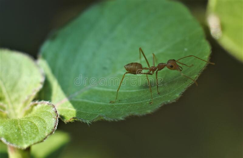 Weaver ant Oecophylla smaragdina stock image