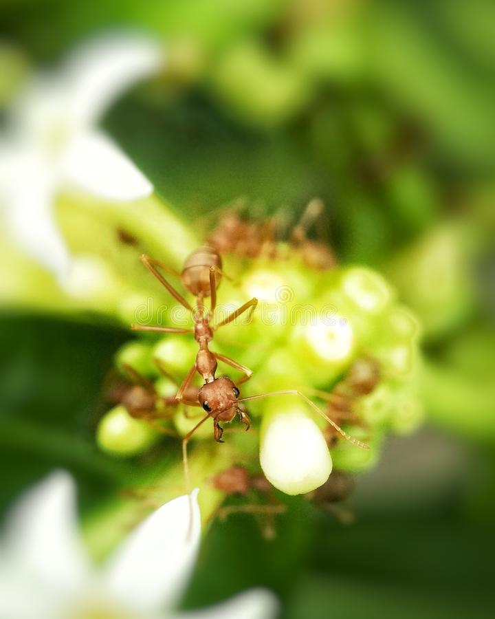 Weaver Ants arkivbild