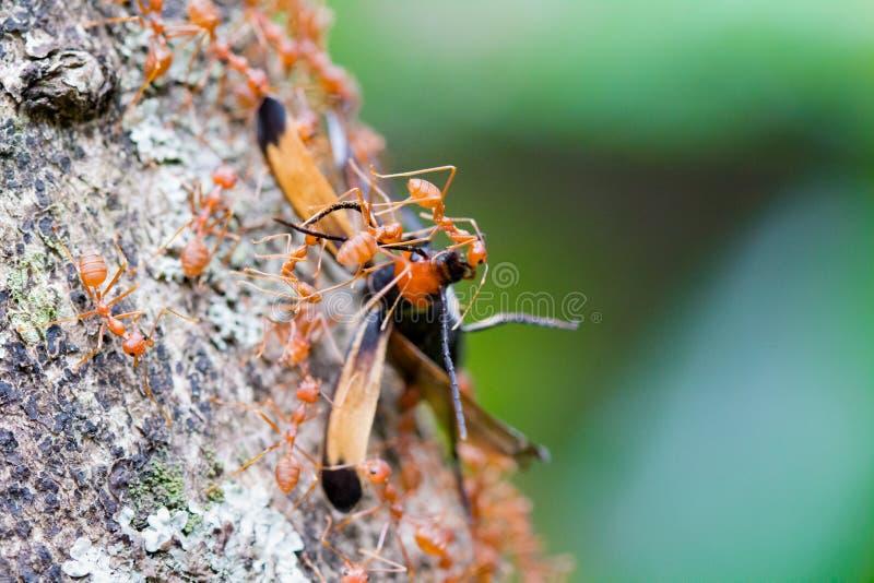 Weaver Ants Carrying Food till deras rede arkivfoton