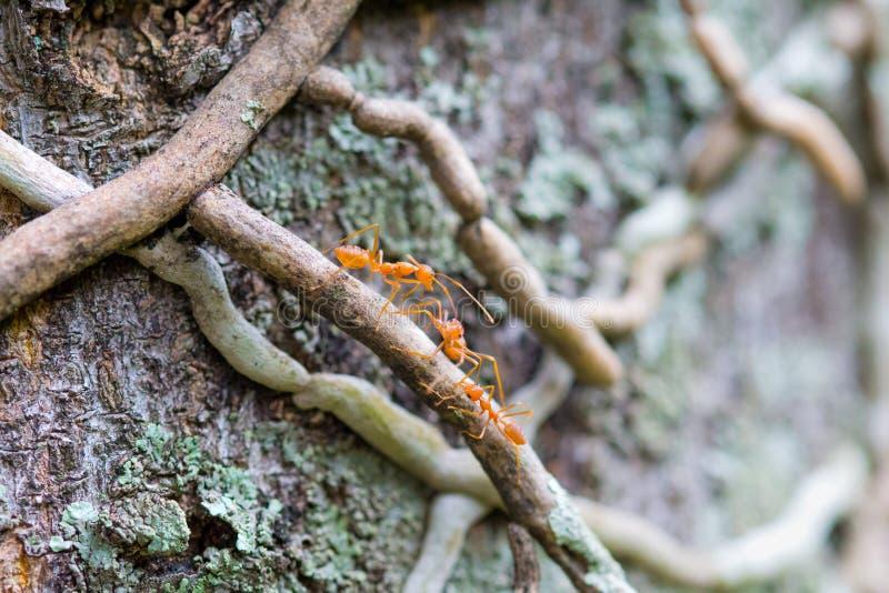Weaver Ants Climbing ett träd royaltyfria foton