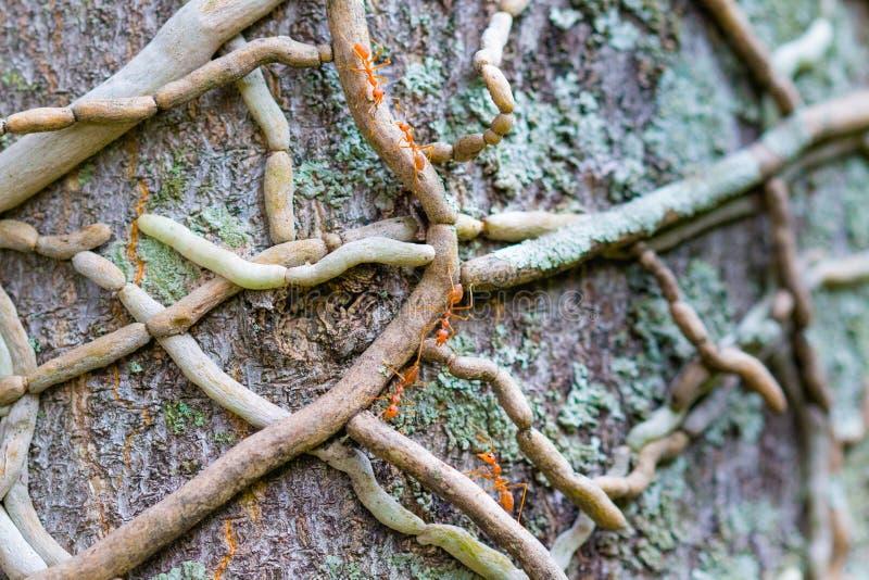 Weaver Ants Climbing ett träd royaltyfri bild