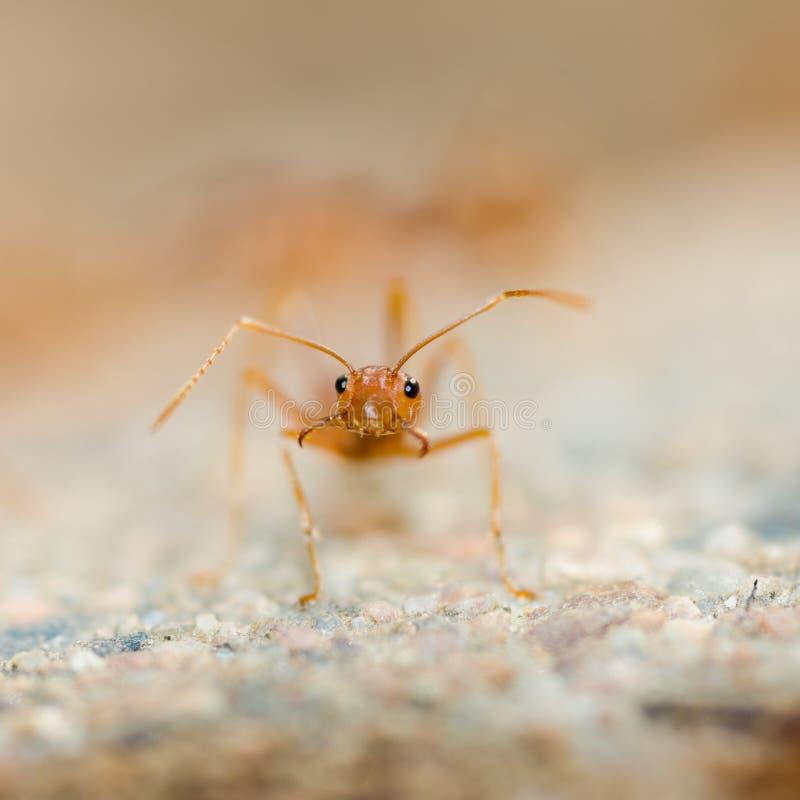 Weaver Ant royalty free stock photos
