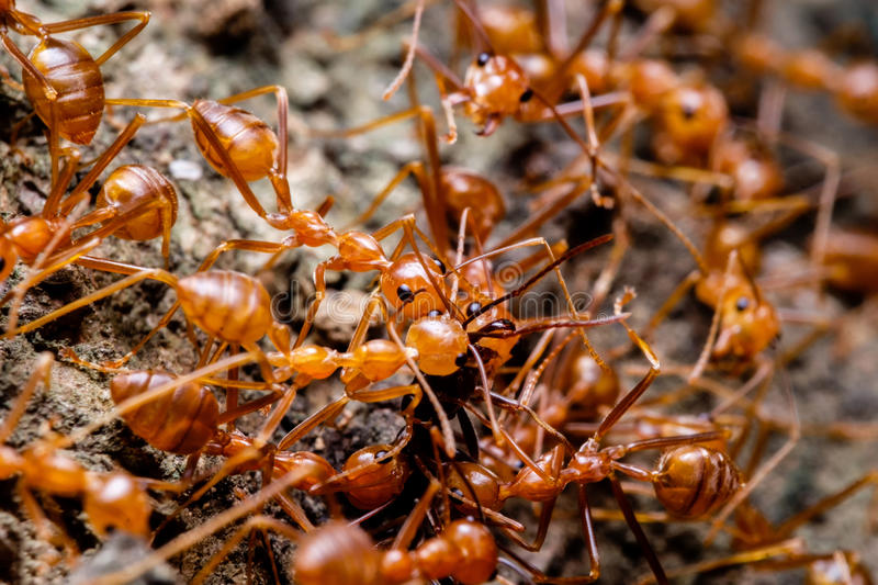 Weaver ants cooperation stock image