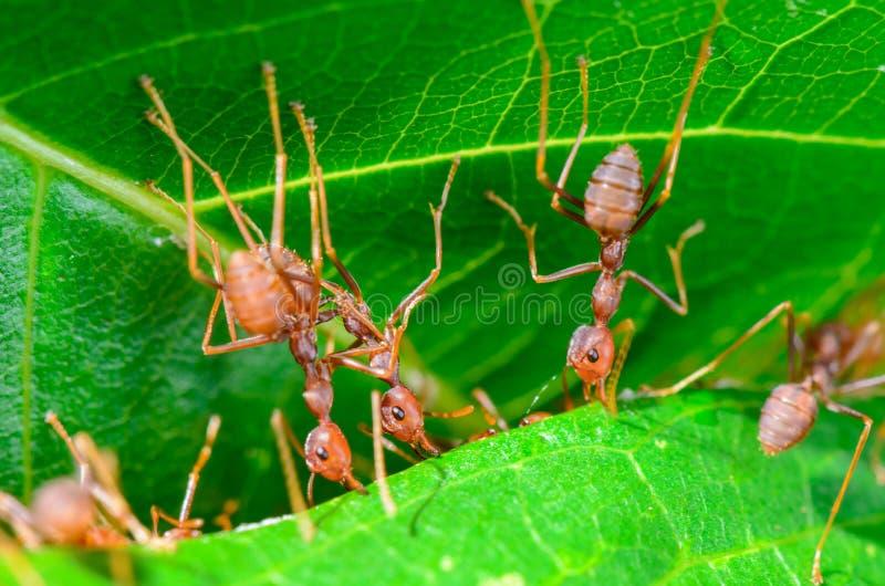 Weaver Ants eller gröna myror (den Oecophylla smaragdinaen) arkivfoton