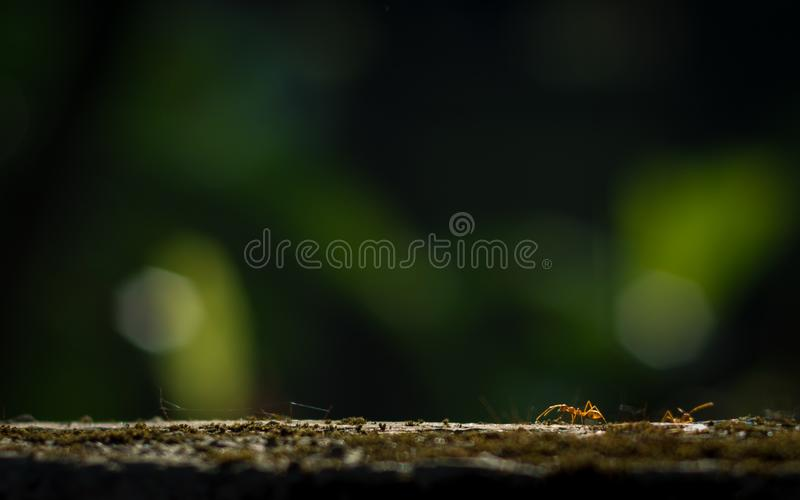 Weaver ants or green ants are eusocial insects of the family Formicidae royalty free stock images