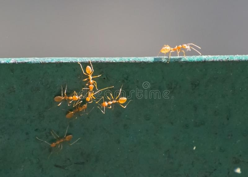 Weaver Ants Group on a railing. Weaver Ants Oecophylla smaragdina Group of workers class on a railing, sending message and gathering food stock photography