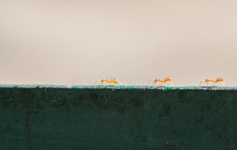 Weaver Ants Group on a railing royalty free stock photos