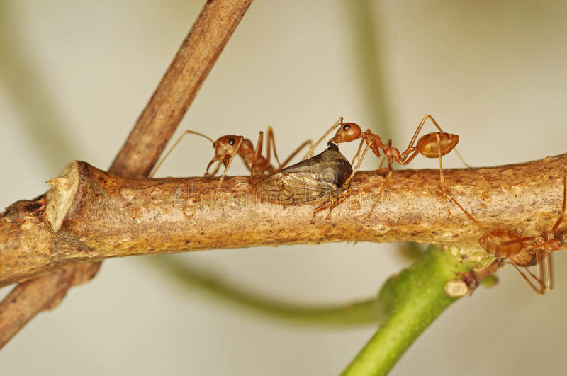 Download Weaver ants and aphid stock image. Image of background - 30159421