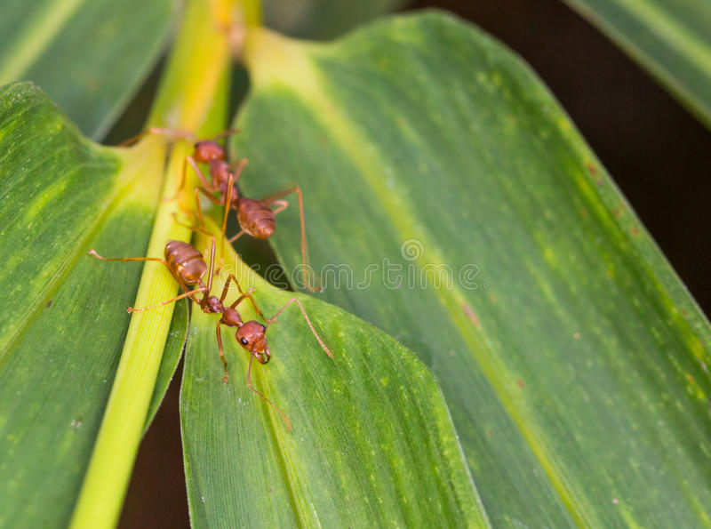 Weaver Ants VII stock foto's