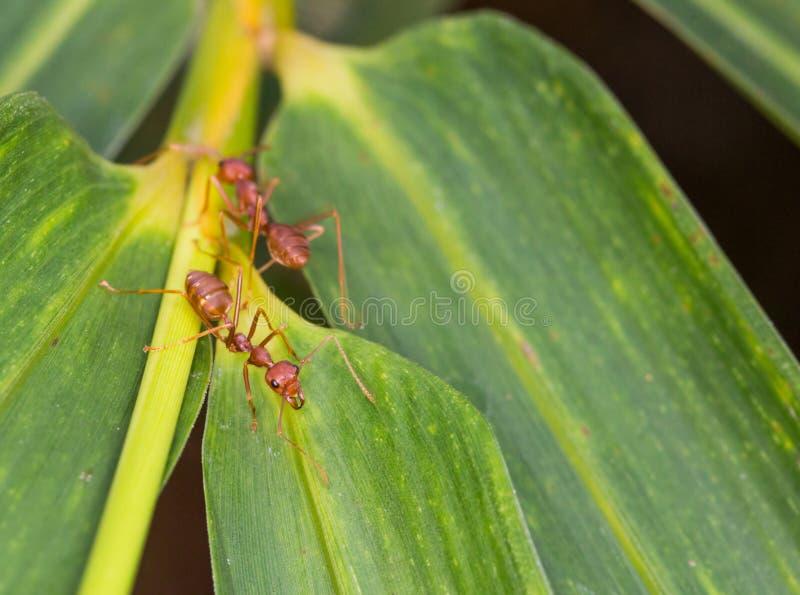 Weaver Ants VII stock photos