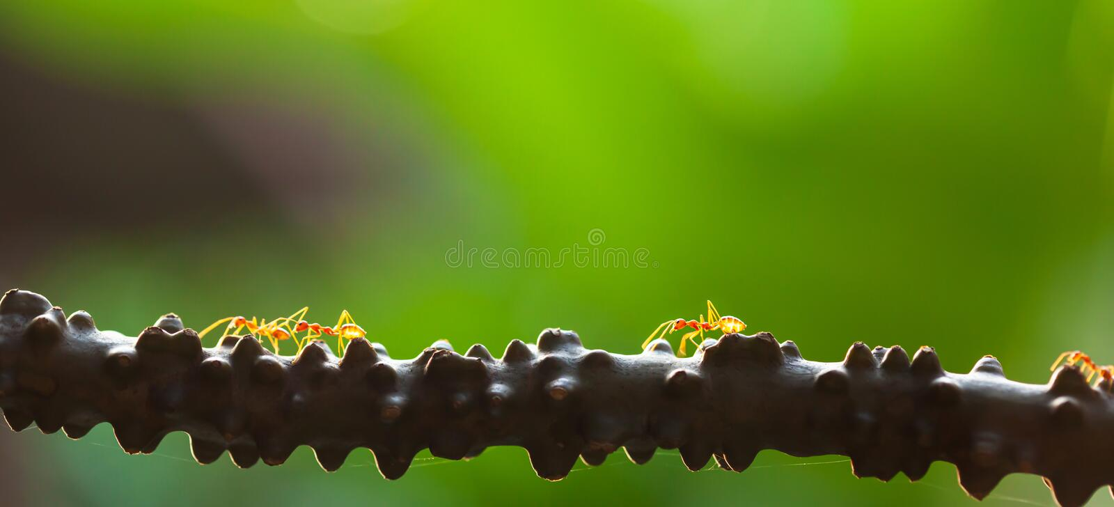 Weaver ants walking on the vine at sunset. A colony of Weaver ants walking on the vine at sunset, bright green blurred natural background. Selective focus stock photo