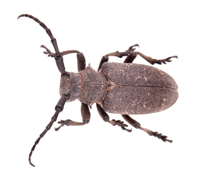 Free Weaver Beetle Royalty Free Stock Photos - 28087398