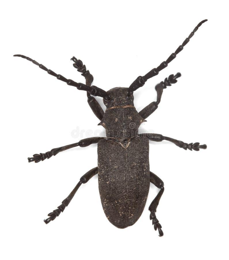 Free Weaver Beetle (Lamia Textor) Stock Photo - 14611080
