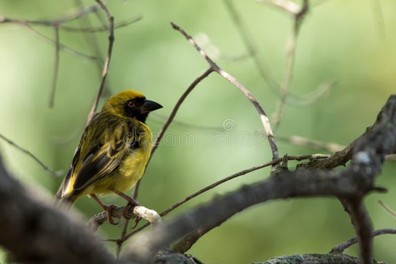 Weaver_bird imagens de stock royalty free