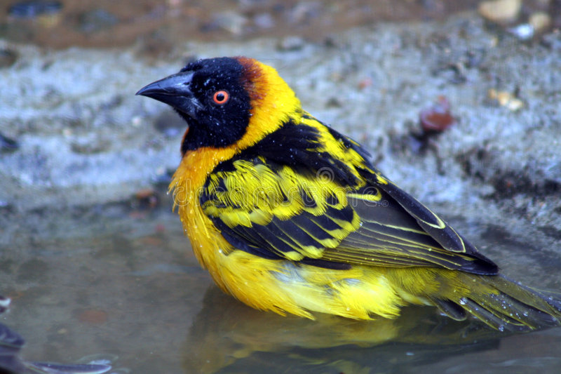 Download Weaver bird stock photo. Image of water, yellow, feather - 225626