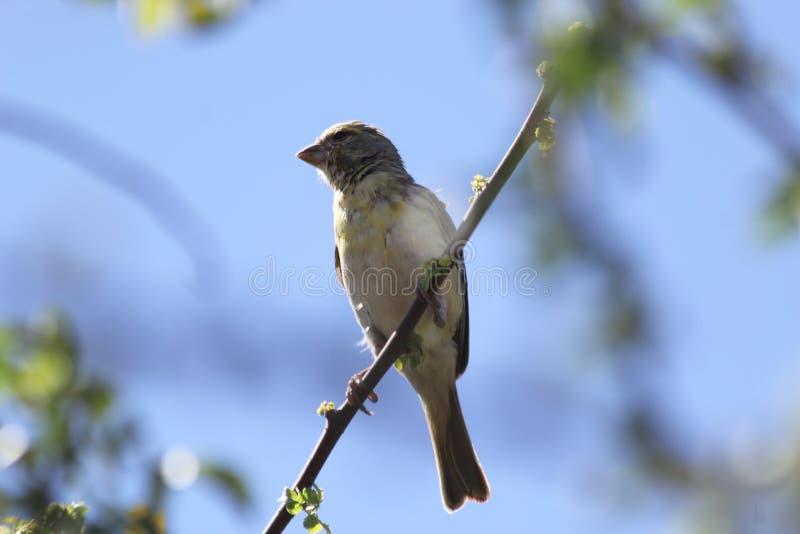 Weaver Bird immagine stock libera da diritti