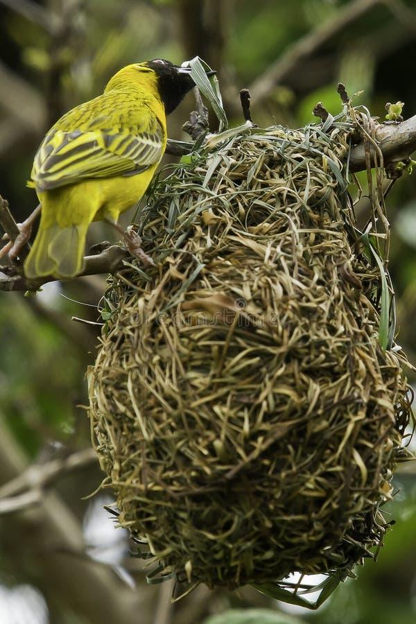 Weaver bird building a nest stock photo