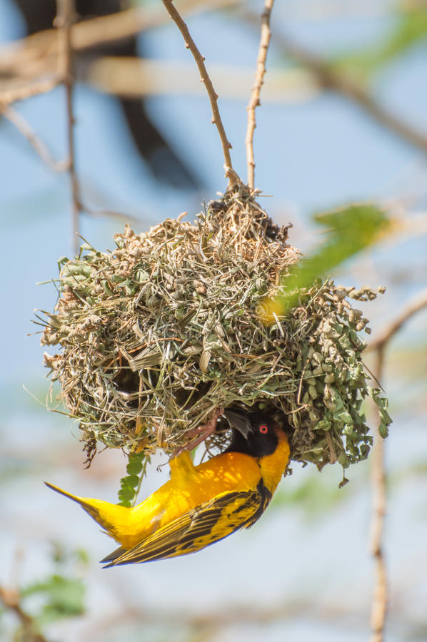 Weaver Bird Building a Nest royalty free stock image