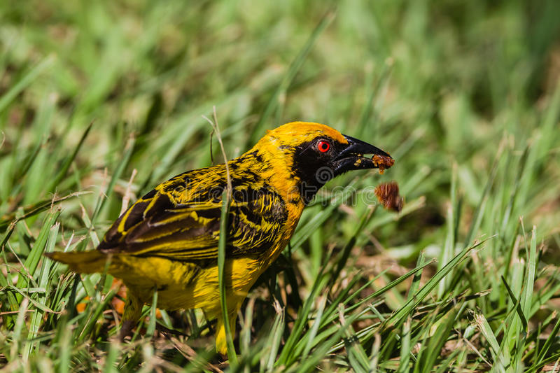 Download Weaver Bird Feeding stock image. Image of grass, feathers - 28608529