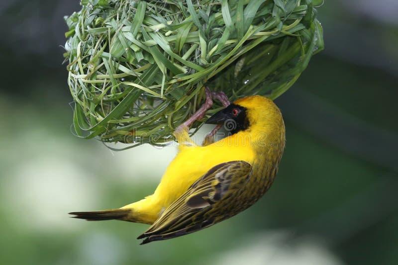 Weaver Bird mascherato fotografia stock libera da diritti