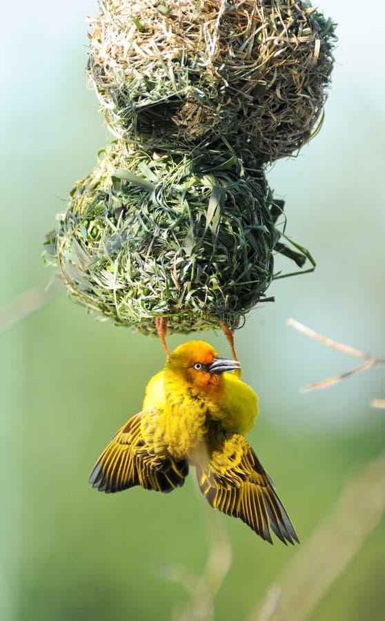 Yellow Weaver bird on nest. Yellow weaver bird weaving its nest royalty free stock photo