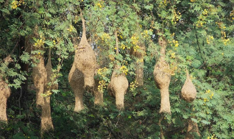 Weaver bird nests at the branch of Vachellia nilotica tree stock photography