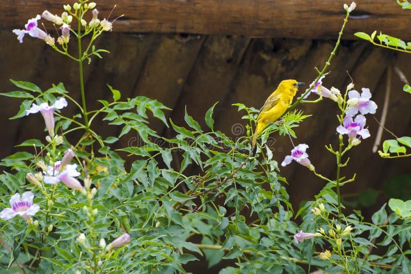 Weaver bird sitting on blooming flowers royalty free stock image