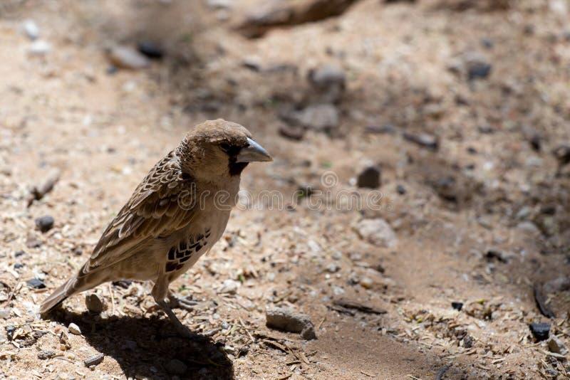 Weaver Bird socievole a Kgalagadi immagine stock libera da diritti