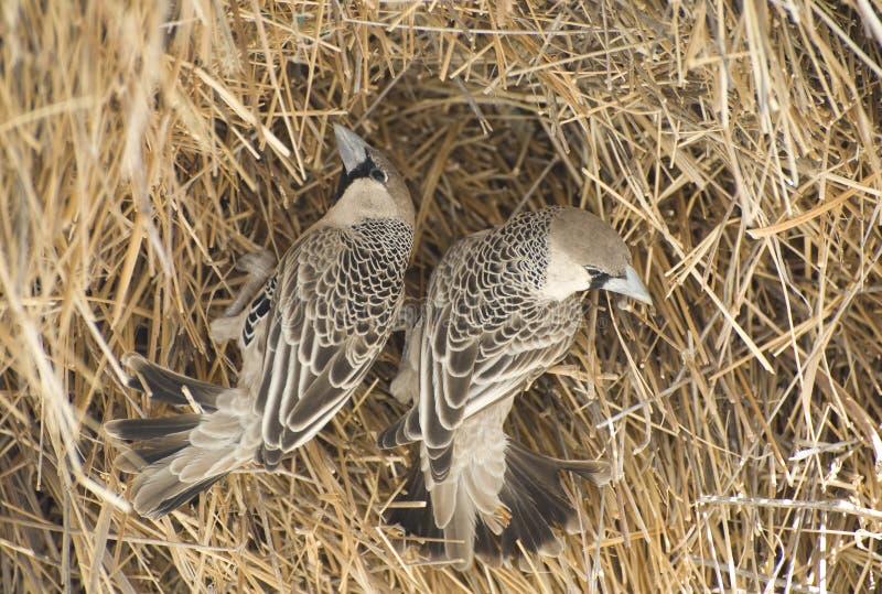 Download Weaver Birds Stock Photo - Image: 21869340