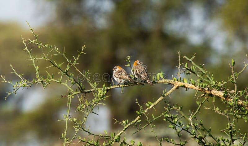 Weaver Ngorongoro Conservation Salpico-fronteado imagem de stock royalty free