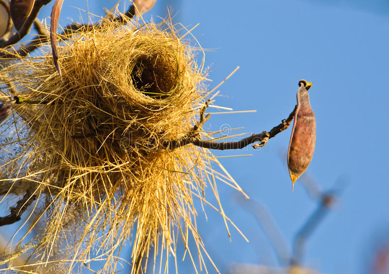 Weaver´s nest royalty free stock photos