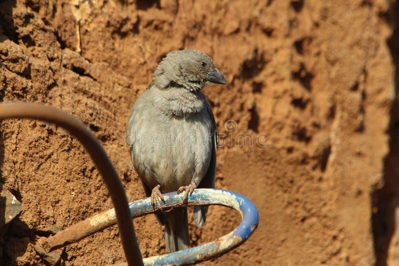 Weaverbird royaltyfria foton