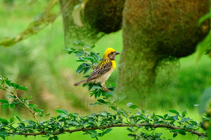Weaverbird eller den PloceusPhilippinus fågeln som vilar förutom, svarar formade reden royaltyfri foto