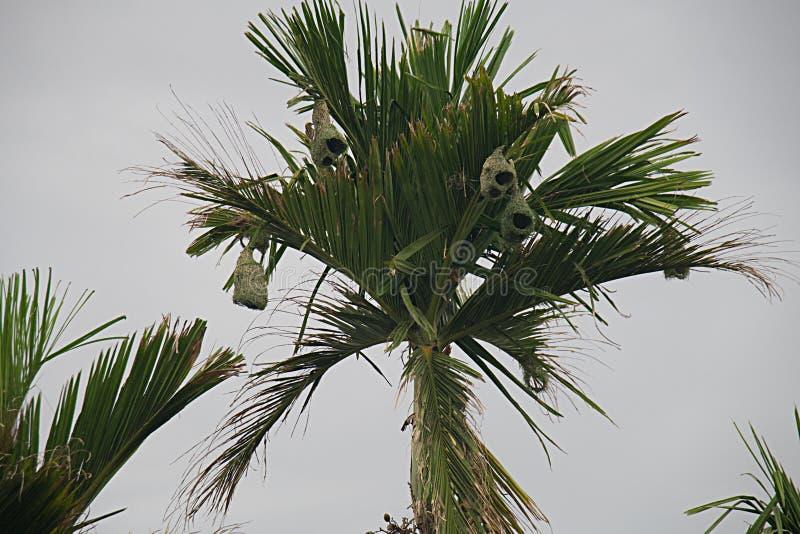 Weaverbird rede royaltyfri bild