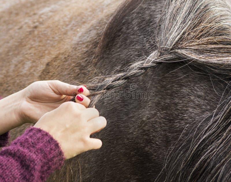 Weaving braids mane of horse. Outdoor royalty free stock image