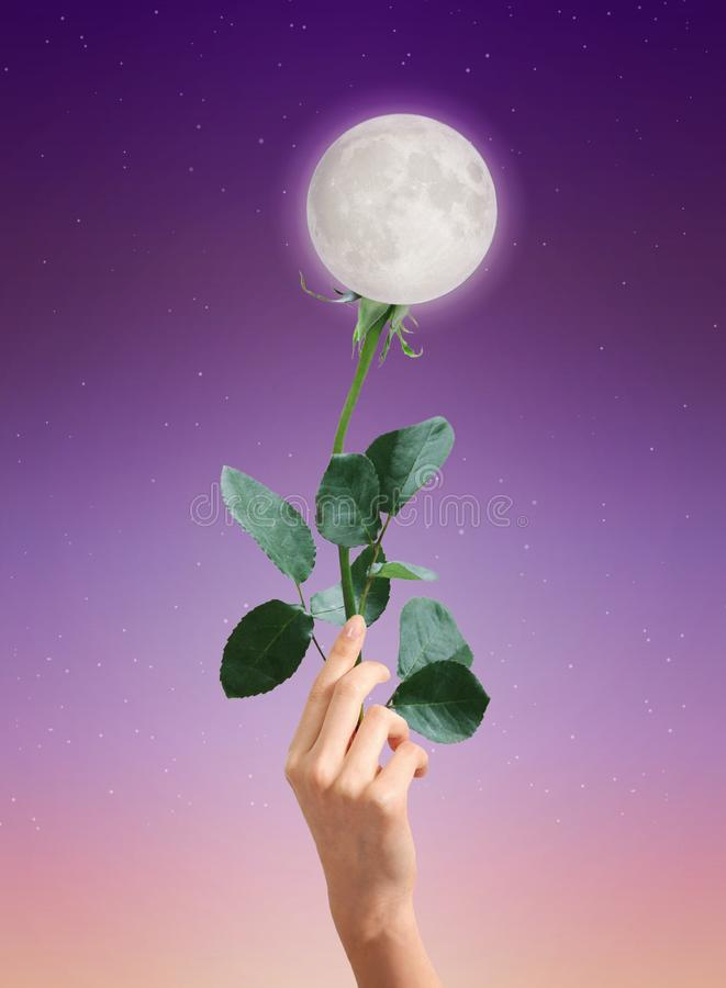 Moon rose flower, abstract love symbol. Woman hand holding a rose green stem with leaves posed like the moon is the flower on purple sunset sky background with royalty free stock images