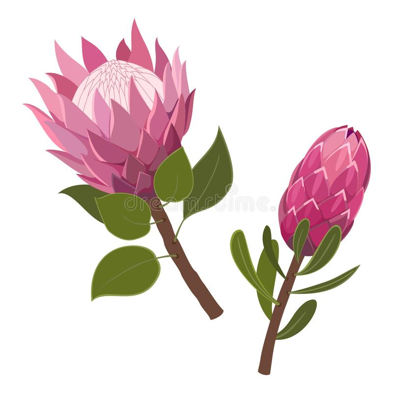 Pink Protea isolated on white background. Vector illustration. royalty free illustration