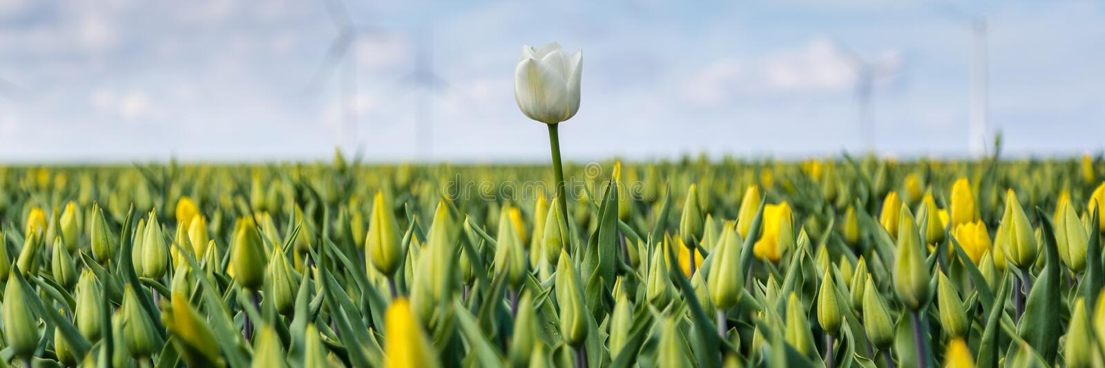 Web banner with yellow tulips fields during springtime in the N stock image