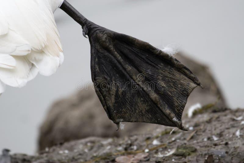 Web d'un cygne sauvage photographie stock
