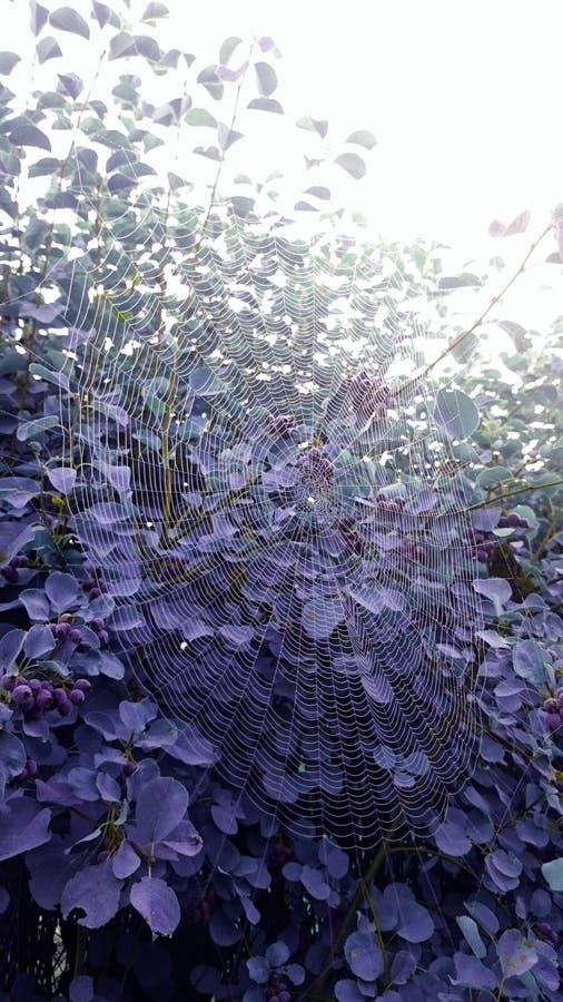 Web de araña púrpura del seto imagen de archivo