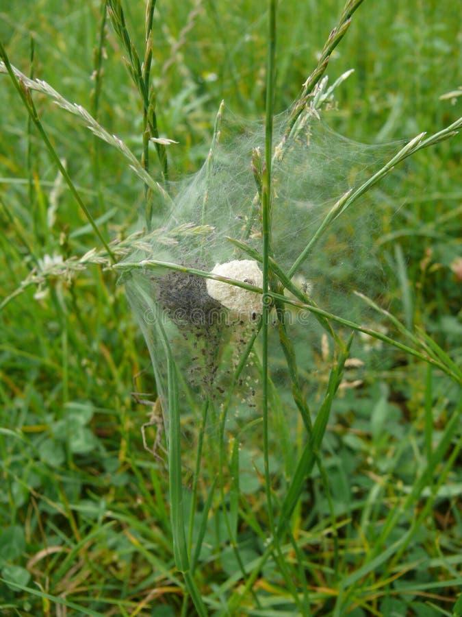 Web de aranha na sessão fotográfica da natureza foto de stock