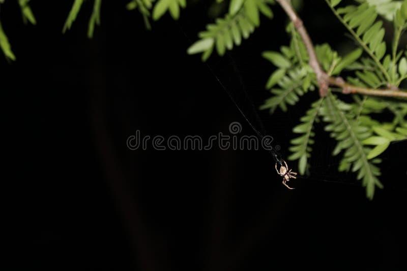 Web de rotation d'araignée sur des feuilles d'arbre image stock